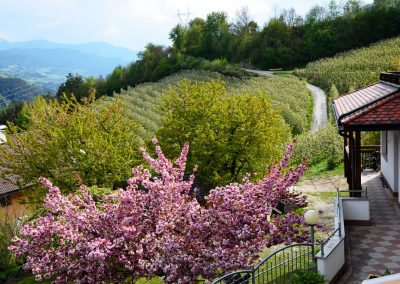 Apfelblüte Südtirol 15