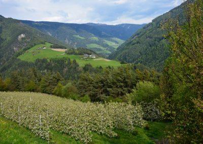 Apfelblüte Südtirol 19