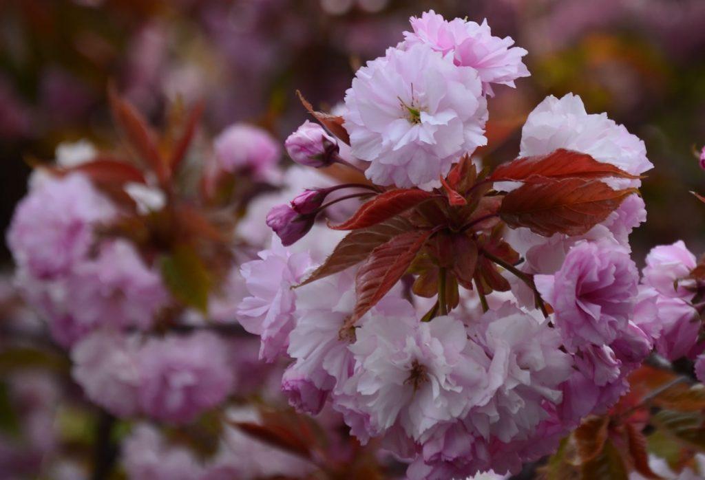 Apfelblüte Südtirol 23
