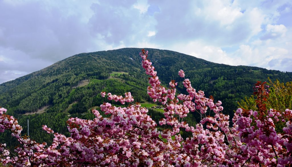 Apfelblüte Südtirol 25