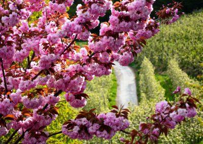 Apfelblüte Südtirol 29
