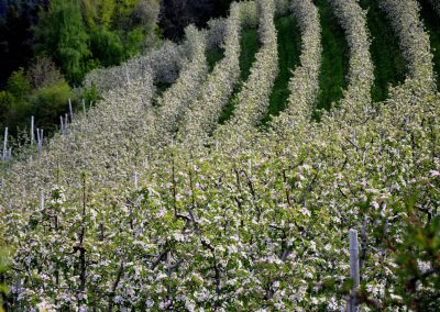 Apfelblüte Südtirol 31