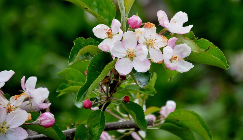 Apfelblüte Südtirol 35