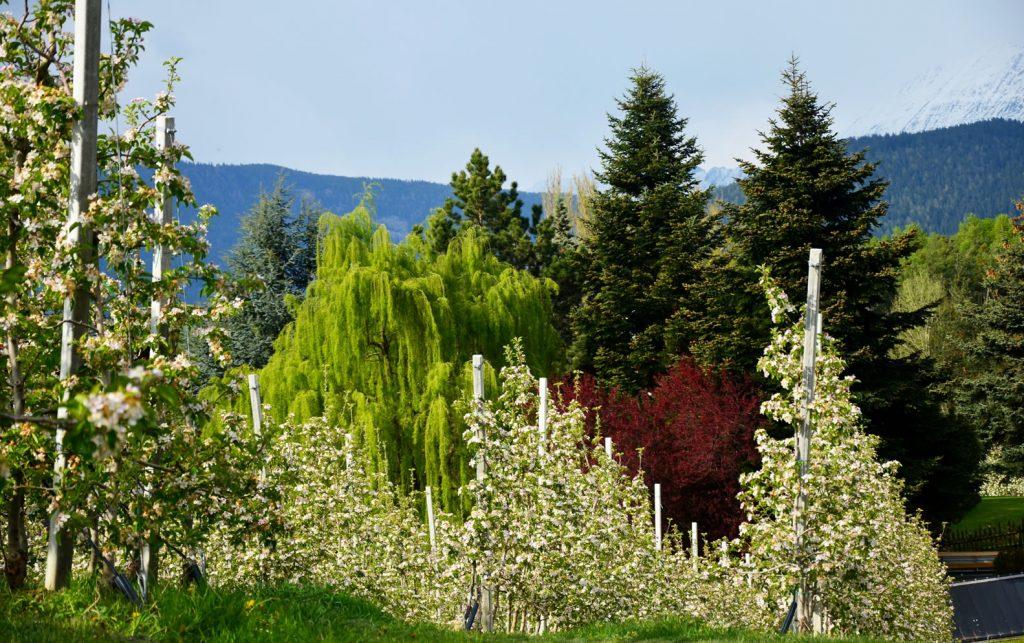 Apfelblüte Südtirol 6