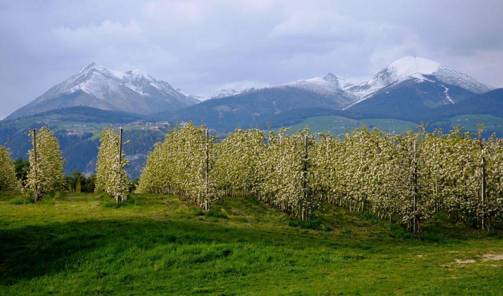 Apfelblüte Südtirol 61