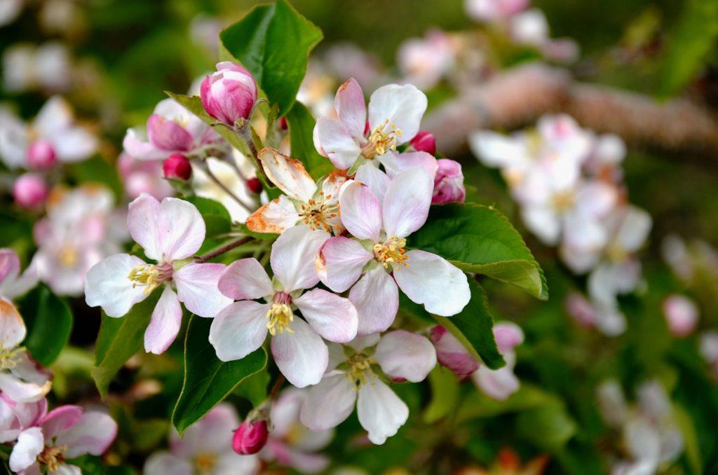 Apfelblüte Südtirol 69