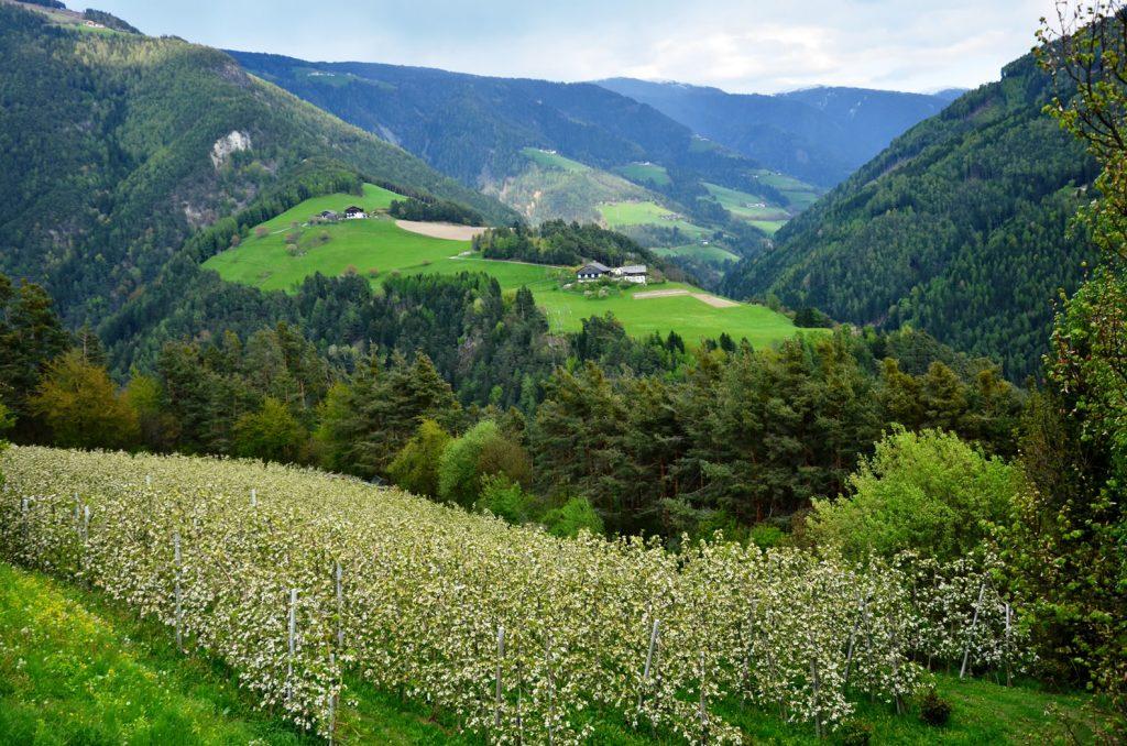 Apfelblüte Südtirol 7