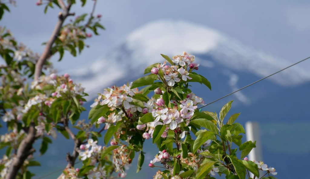 Apfelblüte Südtirol 74