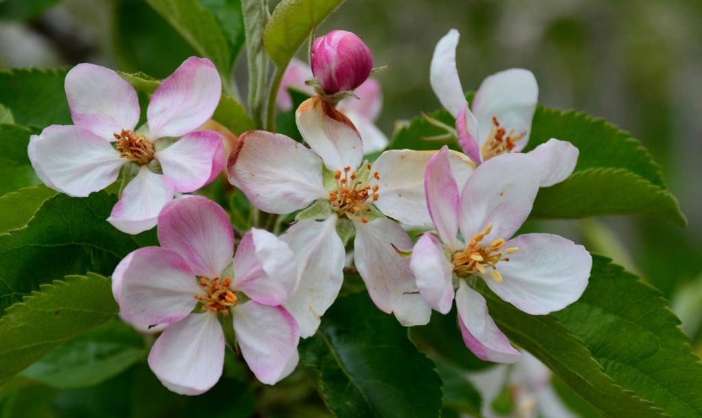 Apfelblüte Südtirol 81
