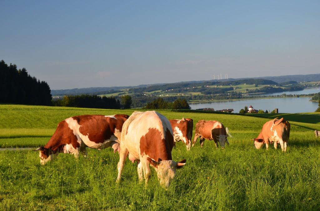 Bio-Heu-Region, Milchkühe
